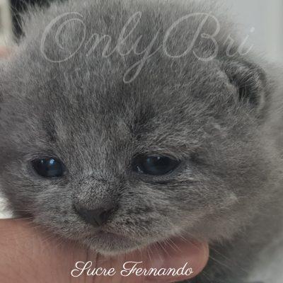 Sucre Fernando 3w